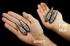 "Orthoceras Fossils 3"" For Jewelry Healing Crystals Root Chakra Reiki Stone"