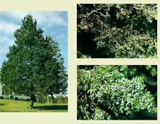 Eastern Red Cedar.        200 seeds.     trees, seeds