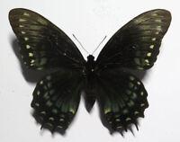 Papilio menatius cleotas female f.adaea *Brasil*