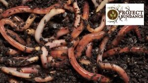 Live Composting Tiger Worms (50g)