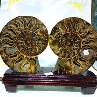 1 pair of Natural Conch Slice Polished Fossil of Madagascar with Stand
