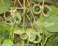 🔥 Brezel-Bohnen 10 frische Samen  RARITÄT  Brezelförmige Bohnen Bretzelbohne