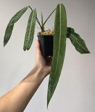 -- ANTHURIUM PALLIDIFLORUM- Rooted --RARE --Aroid-- Plant--UNIQUE--Araceae