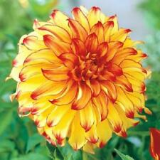 Dahlia Bulb/Tuber Dinnerplate 'Lady Darlene' Quality WPC Prins Summer Bulbs