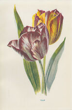 TULIP FLOWER ART ANTIQUE BOTANICAL PRINT by HULME