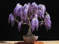 20 graines de bonsai wisteria arbre fleurs bleu violet