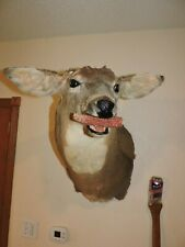 Whitetail Deer Head Shoulder Mount Taxidermy Mounted Shed Antler Hunt Mule Rack