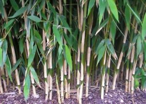 Fargasia JUMBO STEM Bamboo Clump 3-6 stems Live root ball clump