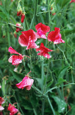 Lathyrus odoratus America 8 seeds