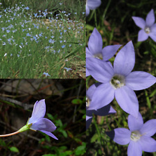 TALL BLUEBELL (Wahlenbergia stricta) SEEDS 'Bush Tucker Plant'