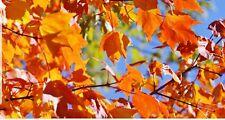 🌱 Sugar Maple Tree Cuttings 🌱 Free shipping
