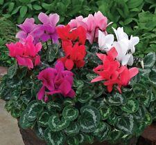 4 x Cyclamen Super Series Mini Winter Mix Large Plug Plants Perennial