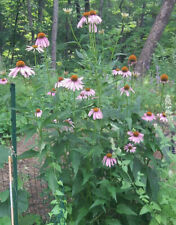 2 Rooted Echinacea Purpurea (Coneflower) Native Medicinal Flowering Healing Herb