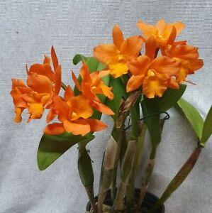 AO Orchid  Cattleya Fuchs Orange Nugget LEA IN FLOWER