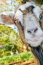 More details for old english billy goat portrait photograph picture print