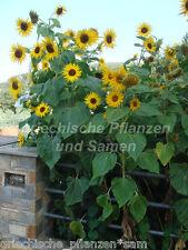 🔥 Sonnenblume GIGANT 10 Samen * 3 Meter hoch * HELIANTHUS * Blumen Sichtschutz