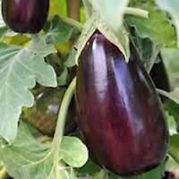 EGGPLANT SEED, BLACK BEAUTY, HEIRLOOM, ORGANIC, NON GMO, 100 SEEDS, VEGETABLE