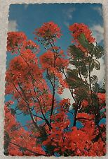 CHROME POSTCARD BLOSSOMS ROYAL POINCIANA FLOWERING TREE HAWAIIAN ISLANDS TR P269
