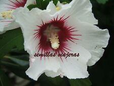 Hibisco blanco-rojo, Hibiscus syriacus white-red 20 semillas seeds graines samen