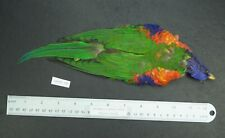 Rainbow Lorikeet (Trichoglossus molucca) Parrot Skin with Wings/Tail Lot-Sf 118