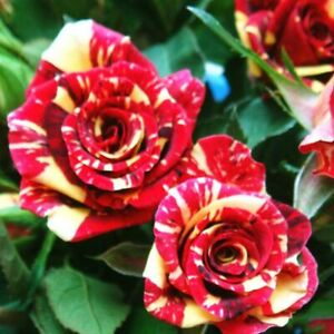 Rare Meteor Shower Rose Flower Seeds Garden Plant, (Buy 1 Get 1 15% Off)