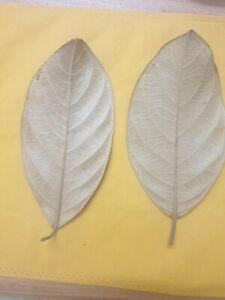 Tisaiyan Jack fruit Leaves 100% Naturally Aged & Sun Dried For Aqua Fish health