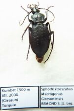 Carabus sphodristocarabus macrogonus giresunensis (female A1) from TURKEY