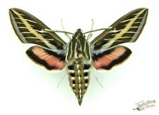 white lined sphinx hawk-moth Hyles lineata x1 M A1 collector display taxidermy