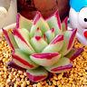 Succulent Live Plant - Echeveria Agavoides 'Ebony' 4cm - Home Garden Rare Plant