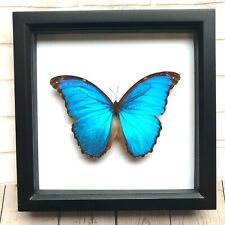 More details for giant blue morpho butterfly (morpho didius) insect shadow box display frame case