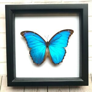 Giant Blue Morpho Butterfly (Morpho didius) Insect Shadow Box Display Frame Case