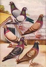 Racing Pigeons Glossy Textured Print F. Falk