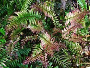 DOODIA MEDIA RASP FERN UNUSUAL EVERGREEN SHADE LOVING GARDEN CONTAINER PLANT