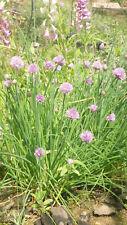 min 300 Samen Schnittlauch grobröhrig (Allium schoenoprasum)
