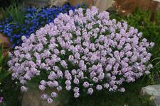 50+ AETHIONEMA GRANDIFLORA FLOWER SEEDS, TIBET AKA PERSIAN ROCKCRESS, PERENNIAL