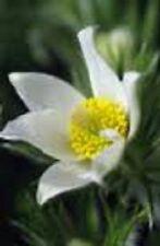 20+ Pure White Anemone Pulsatilla (Pasque) / Flower Seeds