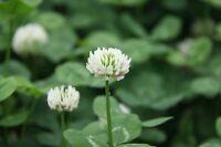 ☺50000 graines de trèfle blanc / engrais vert
