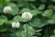 ☺5000 graines de trèfle blanc
