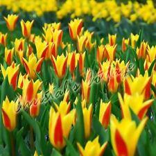 8 PROFUMATO Giuseppe Verdi TULIPANO AUTUNNO Giardinaggio Primavera Bulbo Fiore Corm GIALLO
