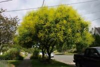 GOLDEN RAIN TREE - Koelreuteria paniculata (30 SEEDS)