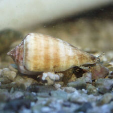 ''AQM' STRAWBERRY Conch snails ,crabs ,snails , Live Coral