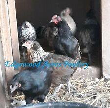NPIP/AI Neg. 4 Araucana Hatching Eggs