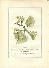 Stampa antica PIANTE DELLA BIBBIA TIGLIO Tilia europaea 1842 Old antique print