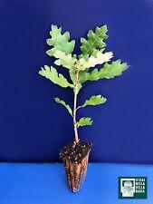 QUERCUS FRAINETTO alv pianta plant Farnetto Hungarian oak