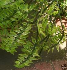 12 DEVIL'S BACKBONE Slipper Flower Succulent & Bonsai