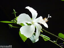 "Hibiscus RARE Dainty White Live Plant Rosa Senisis tree type, ""Moonlit"" Flowers"
