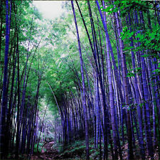 100x Phyllostachys Pubescens Moso-Bamboo Seeds Garden Plants Black Tinwa Color