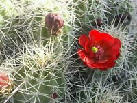 Small Flowering Desert Cactus Succulent Live Plant Mojave Mound Red Claret Cup