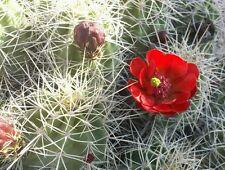 Echinocereus triglochidiatus Red Claret Cup Hedgehog Cactus Mojave Mound Cactus