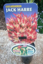 Leucadendron Jack Harre in 75mm tube (Leucadendron and Protea) cut flower